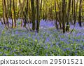 Hyacinth Bluebells 29501521