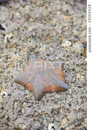 Die starfish on the rock 29503428