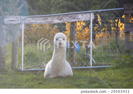 Alpaca is sitting and looking at the camera 29503431