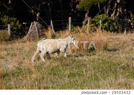 Sheep walking on nature green meadow 29503432