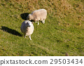 Sheep looking at the camera on nature green meadow 29503434