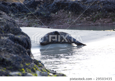 Sea lion sleeping on the beach 29503435