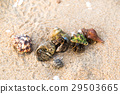 Colorful hermit crab on the beach in Thailand 29503665
