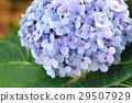 Blue hydrangea 29507929