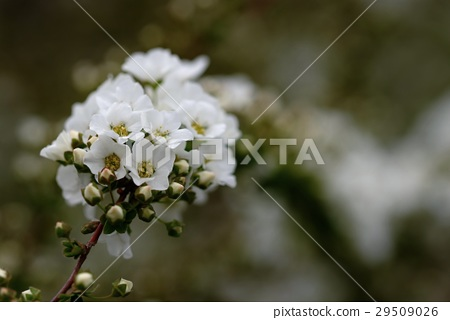 Yukiyanagi's flower 29509026