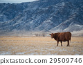 Cows in a meadow Winter Domestic Cattle 29509746