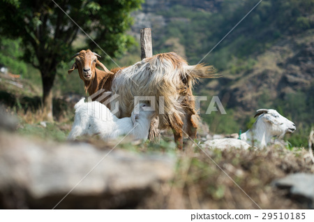 Goat family, goat mother feeding to her cub 29510185