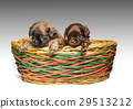 Chihuahua puppy 29513212