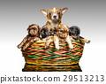 Chihuahua puppy 29513213
