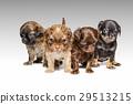 Chihuahua puppy 29513215