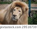 white lion portrait 29516730