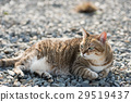 fat tabby cat 29519437