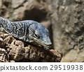도마뱀, 파충류, 열대 우림 29519938