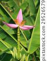 Banana flower 29526579