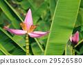 Banana flower 29526580
