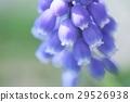 무스카리, 꽃, 플라워 29526938