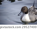 duck, northern, pintail 29527400