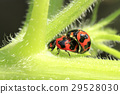 Ladybug mating in the gardens 29528030