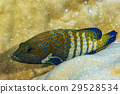 colorful grouper isolated on hard coral 29528534