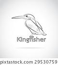 Vector of Common kingfisher (Alcedo atthis)  29530759
