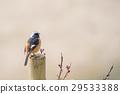 紅尾鴝 雄鳥 小鳥 29533388