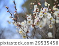white plum blossoms, ume, bloom 29535458