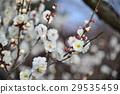 white plum blossoms, ume, bloom 29535459