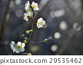 white plum blossoms, ume, bloom 29535462