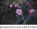 botanic, ume, bloom 29535463