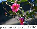 christmas camellia, yuletide camellia, bloom 29535464