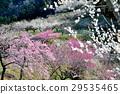 plum grove, ume, spring 29535465