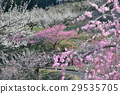 plum grove, ume, flower 29535705
