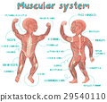 illustration of human muscular system for kids 29540110