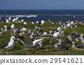 Colony of Kelp Gull 29541621