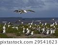Colony of Kelp Gull 29541623