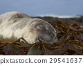 Elephant Seal asleep on a bed of kelp 29541637