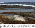 Elephant Seal asleep on a bed of kelp 29541638