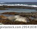 Elephant Seal asleep on a bed of kelp 29541638