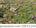 sea lettuce, seaweed, blue water 29552140