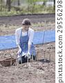 蘆筍 收穫 豐收 29556298