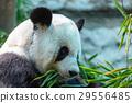 Panda 29556485