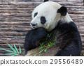 Panda 29556489