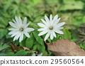 꽃, 플라워, 얼레지 29560564