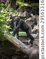 大猩猩 强大的 危险 29561316