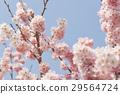 ดอกซากุระบาน,ซากุระบาน,กลีบ 29564724