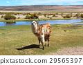 Alpaca สีขาวและน้ำตาล 29565397