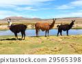 羊駝 動物 南美 29565398