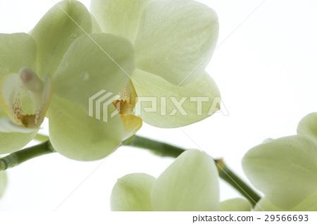 蘭花,君子花,Orchid,蘭、 花,コチョウラン,紳士 flower, Orchidaceae 29566693