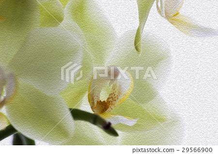 蘭花,君子花,Orchid,蘭、 花,コチョウラン,紳士 flower, Orchidaceae 29566900