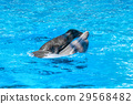 seal is riding on a dolphin in blue water 29568482